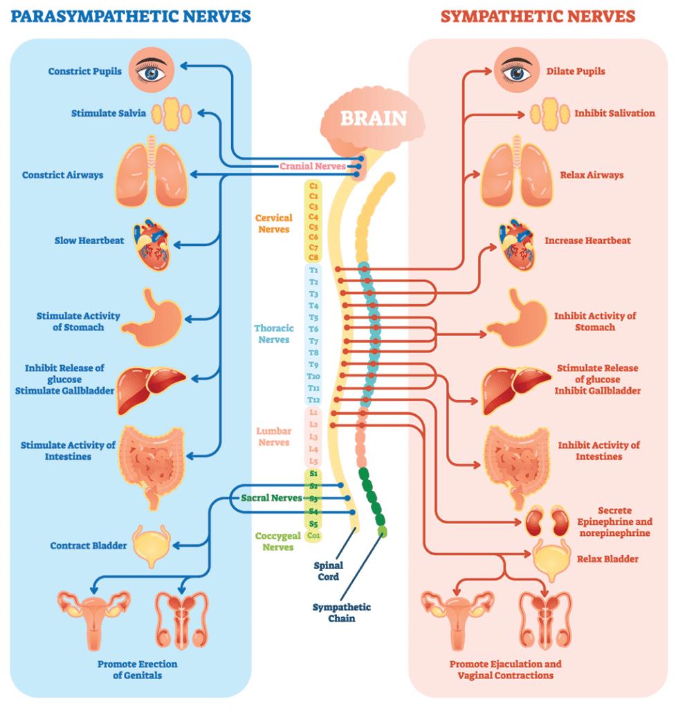 Parasympathetic nervous system archives